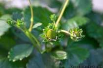Die kleinen winzigen Erdbeeren reifen noch heran