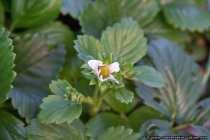 Eine Erdbeere noch klein und jung