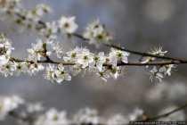 Blueten - Open blossom