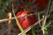 Rote Erdbeere - Sonnengereift - Red strawberry