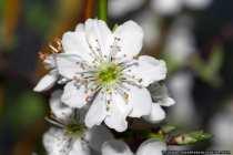 Kirschbluete - Cherry blossom