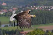 Seeadler sind die groessten Greifvoegel in Mitteleuropa