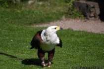 Adler aus Afrika - Weisser Kopf, gelber Schnabel mit schwarzer Schnabelspitze