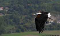Afrikanischer Greifvogel - Schreiseeadler (Haliaeetus vocifer) beim Rundflug.