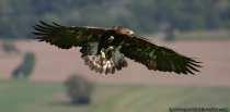 Steinadler (Aquila chrysaetos) koennen eine Fluegelspannweite von 1,90m bis 2,30m bekommen.