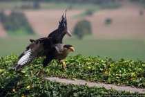 Geierfalke. Der Karakara verbringt viel Zeit in Bodennaehe, da er kein schnell fliegender Beutejaeger ist.