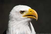 Amerikanischer Weisskopfseeadler
