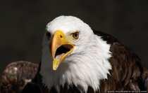 Weisskopfseeadler mit rufenden Lauten