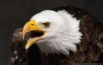 Weisskopfseeadler Portraetaufnahme