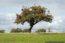 Der Apfelbaum trägt auch noch im Oktober Früchte
