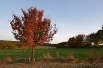 Der Herbst Anfang Oktober - Die Baeume leuchten roetlich im letzten Sonnenschein