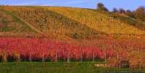 Weinreben im farbenfrohen Gewand