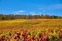 Das kunterbunte Herbstbild zeigt die Weinreben und das Waldstück oberhalb der Ortschaft Schäftersheim in Baden-Württemberg.