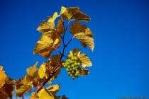 Die Trauben, welche bis in den Hochwinter am Rebstock belassen werden, warten auf den Frost. Bei mindestens -7 Grad Celsius werden die Trauben geerntet und sofort gepresst. Aus den gefrorenen Trauben werden Eisweine hergestellt, welche recht dickflüssig, eine natürliche süße besitzen und sehr hochwertige Weine sind.