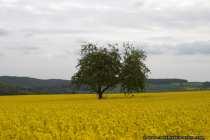 Ein einsamer Baum im gelben Rapsfeld