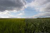 Weizen und Roggen - Wheat and Rye