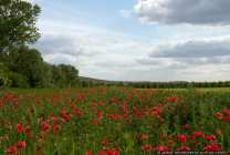 Mohnfeld - Field of poppies - Red poppy