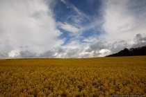 Der Himmel spaltet sich und beleuchtet den Rapsanbau