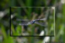 Dragonfly from behind