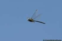 Suedliche Mosaikjungfer - Libellenflug