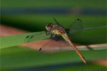 Grosse Heidelibelle (Weibchen)