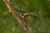 Vierfleck-Libelle - Four-spotted Chaser