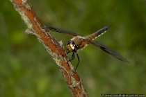 Vierfleck-Libelle - Four-spotted Skimmer