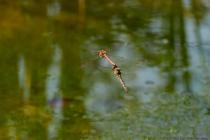 """Während der Mittagszeit konnten mehrere Libellenpaare beobachtet werden, welche mit schwingenden auf- und ab- Bewegungen über der Wasseroberfläche flogen. Beim Flug zum Gewässer konnte in einem Sekundenbruchteil eine Berührung """"Wasseraufspritzen"""" beobachtet werden."""