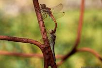 Die Große Heidelibelle mit wissenschaftlichen Namen Sympetrum striolatum gehört zur Familie der Segellibellen und ist die größte Libellenart in Deutschland.