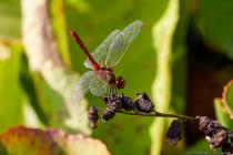 Die Blutrote Heidelibelle mit wissenschaftlichen Namen Sympetrum sanguineum gehören zu den kleineren Großlibellen aus der Familie der Segellibellen. Die blutroten Heidelibellen bewohnen meist kleine, sowie stehende Gewässer und sind in den Monaten Juli bis September dort anzutreffen.