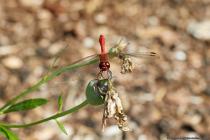 """Das Männchen der blutroten Heidelibelle ist an der leuchtend roten Färbung zu erkennen, welche sich von Kopf, Brust """"Thorax"""" bis zum Hinterleib """"Thorax"""" erstreckt. Die Flügelspannweite beträgt maximal sechs Zentimeter."""