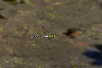 Die Blaugrüne Mosaikjungfer mit wissenschaftlichen Namen Aeshna cyanea gehört zur Familie der Edellibellen und ist eine große Libelle mit einer Körperlänge von sieben bis acht Zentimetern. Die Großlibelle kann an stehenden Gewässern, auch Gartenteiche, in den Monaten Juli bis Oktober angetroffen werden.