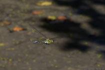 In geringer Höhe jagt die Blaugrüne Mosaikjungfer mit einer beeindruckenden Geschwindigkeit, von bis zu 50 km/h, nach Insekten. Auf dem Speiseplan stehen Mücken, Fliegen, andere geflügelte Insekten und nicht selten werden auch andere Libellenarten erbeutet. Es ist auch für die Blaugrüne Mosaikjungfer nicht unüblich, dass Sie sogar rückwärts fliegen kann.