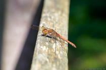 Libellen am eigenen Teich sind eine Wohltat, denn die stechenden Mücken und Bremsen werden von Libellen bejagt und verspeist.