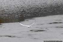 Eine Möwe fliegt über einen See hinweg