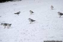 Black Headed Gull into Snow
