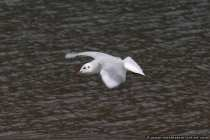 Lachmöwe im Flug fotografiert