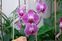 Orchideen - Mainz Orchids