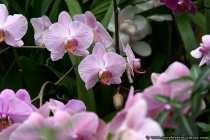 Orchideen werden auch als Königin der Blumen bezeichnet - Orchids - The queen of the flowers