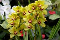 Yellow orchids - Orchid plants