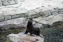 Die Fortbewegung außerhalb des Wasser ist mühsam für Robben
