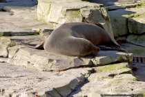 Robben sind Säugetiere