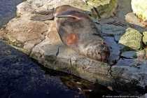 Unterschied zu Seehund und Ohrenrobbe