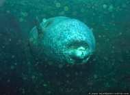 Seehunde atmen vor einem Tauchvorgang aus
