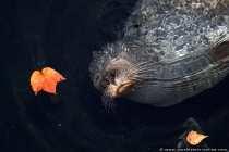 Die Paarung der Robben findet im Wasser statt