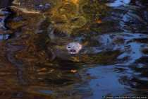 Seehund (Phoca Vitulina)