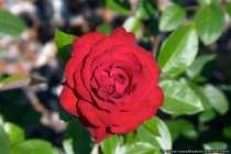 Tornado - Eine rote Rose - Red Rose Tornado
