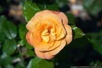 Eine Rose namens Lolita