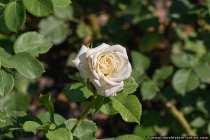 Flora Romantica