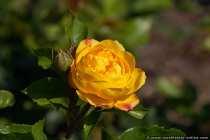 Dehner Rose, eine Referenz an Deutschlands beliebteste Ferienstraße